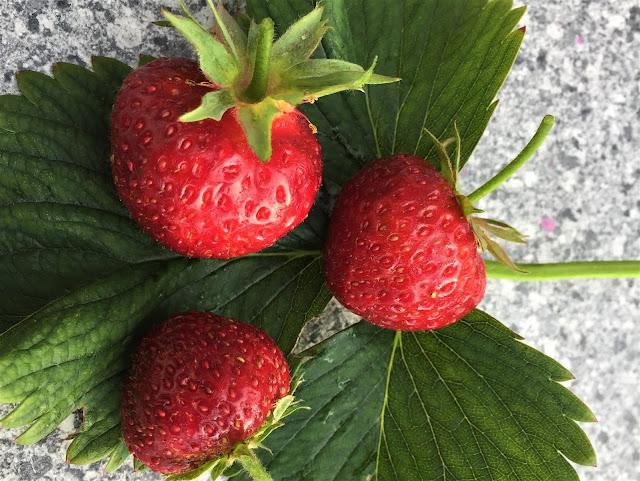 drei Erdbeeren Wädenswil 6 auf Erdbeerblättern