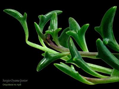 Suculenta Senecio peregrinus