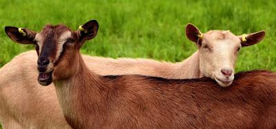 Goat breeds grown in Nepal [krishiloksewa Bakhra Palan]