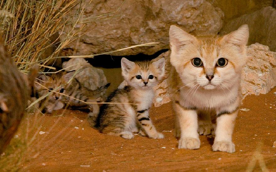 sand-cats-kittens-forever-1