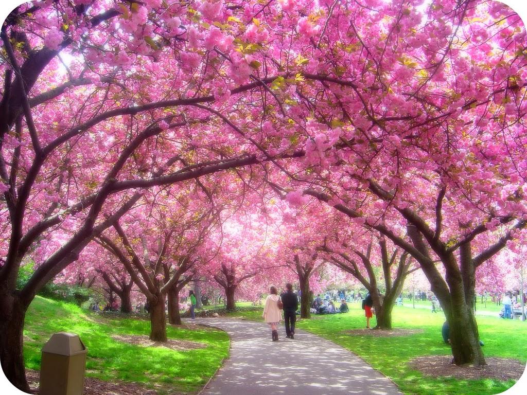 AH SALAH AH Download Gambar Bunga Sakura