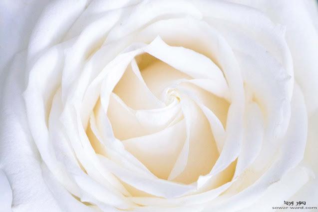 خلفيات ورود بيضاء جميلة