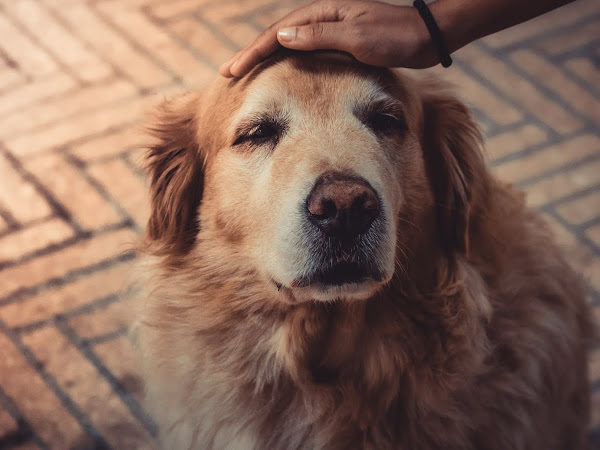 CBD Oil For Treating Cancer in Dogs
