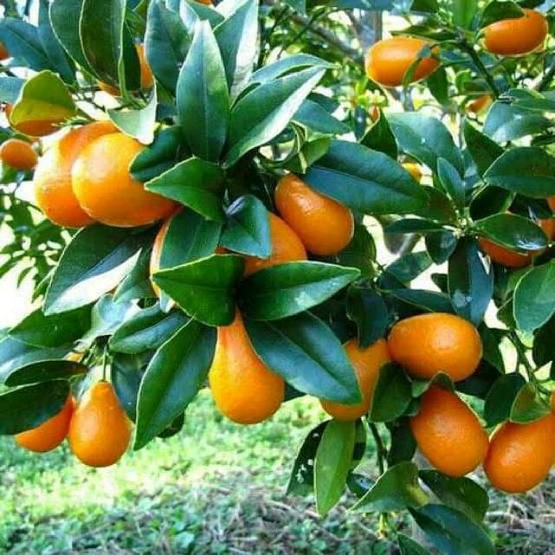 Bisa Beli Ecer! bibit jeruk nagami bibit tanaman buah buahan benih buah buahan bibit pohon buah benih tanaman buah Kota Bekasi #bibit buah