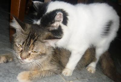 Kucing Utara Faq Kucing Mengandung
