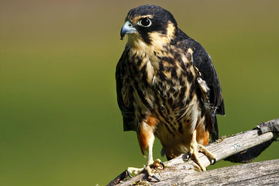 Resultado de imagen para El Alcotán Europeo ( Falco subbuteo)