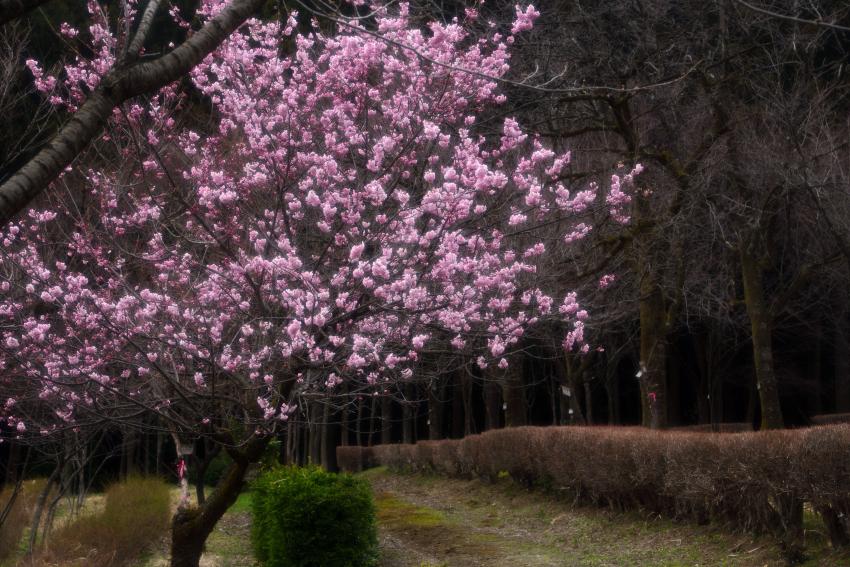 樹木公園の椿寒桜