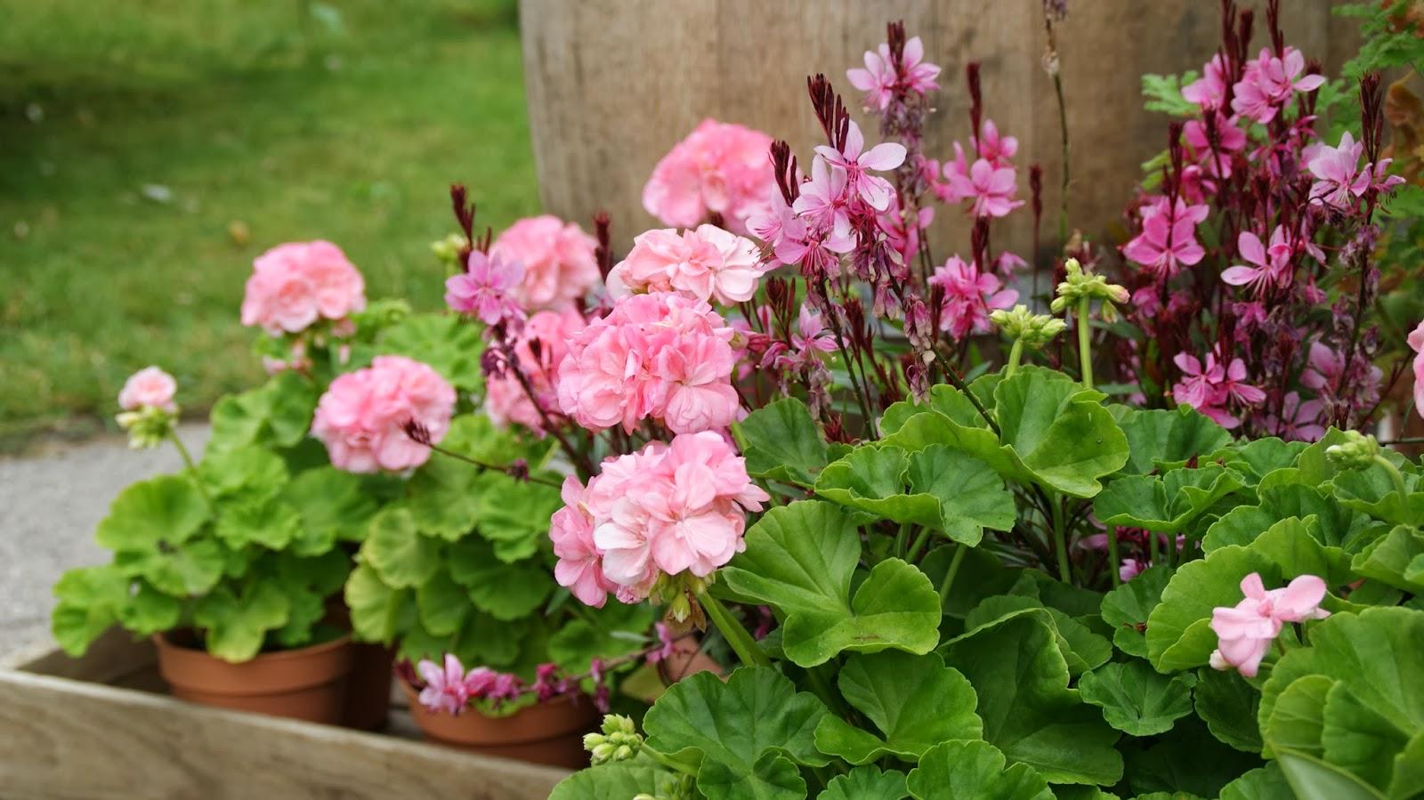 Birgitte på nettet: Det lilla og lyserøde krukkebed