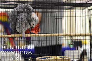 Teenage African Grey Parrot