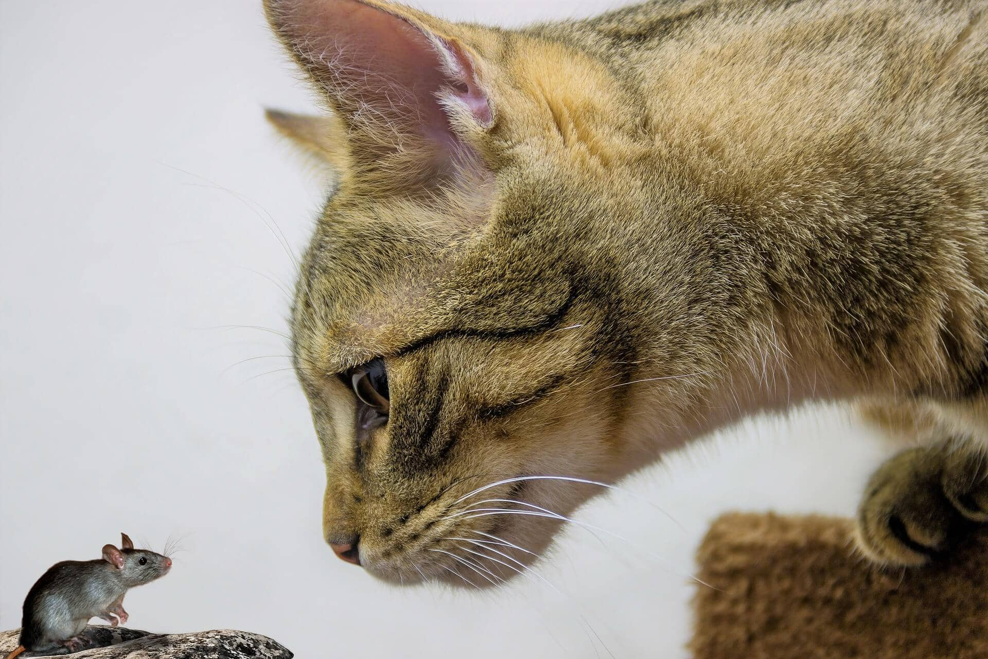 Domestic Shorthair cat Breed