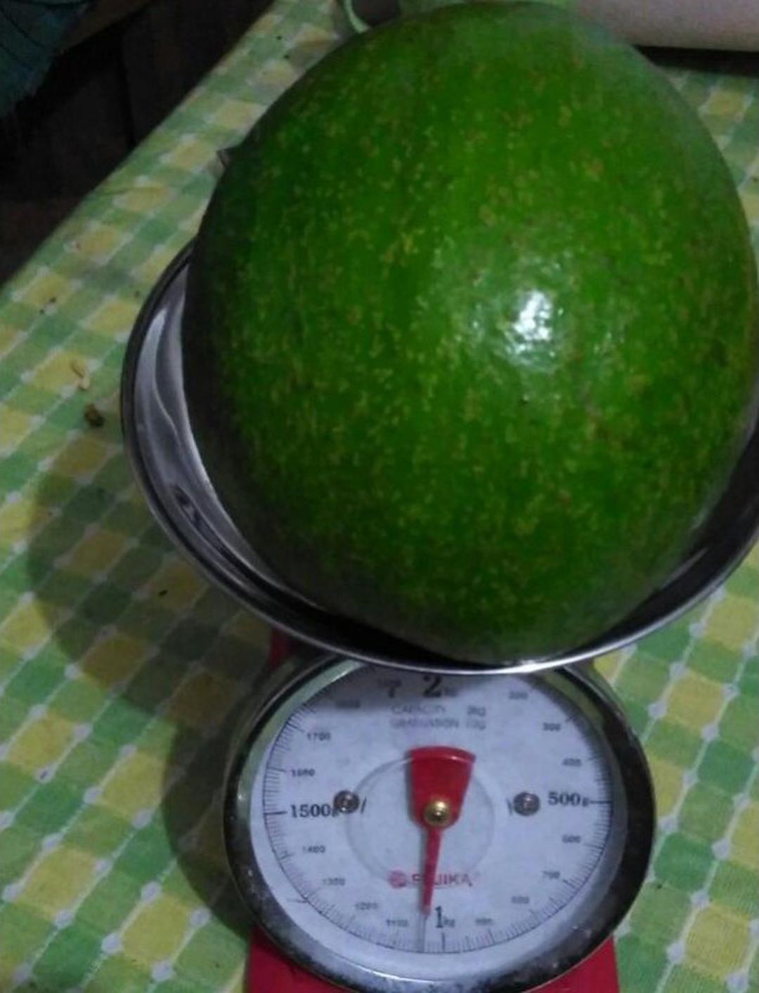 Bisa Partai Besar! bibit buah alpukat wina unggul Kota Malang #bibit buah buahan