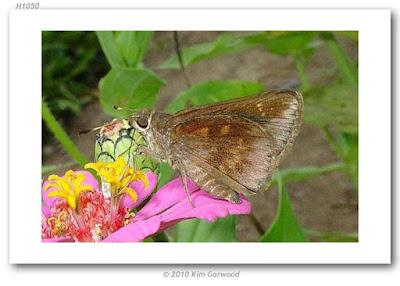 Mariposa achirera (Quinta cannae)