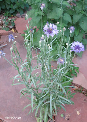 Centaurea cyanus , bachelor button