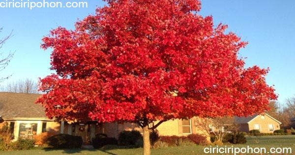 ciri ciri pohon maple merah