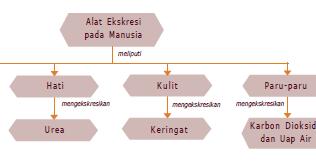 Sistem Ekskresi Pada Manusia Materi Lengkap