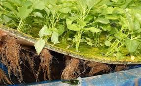 Jenis Sayuran Yang Cocok Untuk Hidroponik Rakit Apung