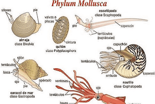 Pengertian Hewan Moluska, Klasifikasi, dan Cirinya