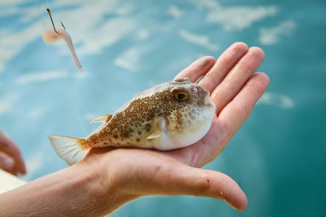Balon balığı nedir? Balon balığı tehlikeli midir? Hangi bölgelerde bulunur?