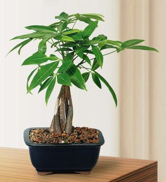 Money Tree Indoor Bonsai