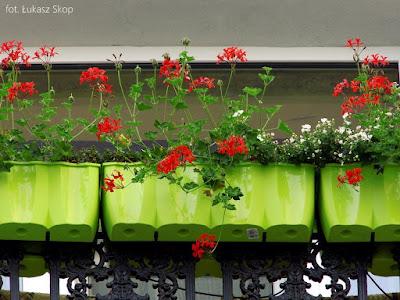 kwiaty balkonowe w czasie suszy