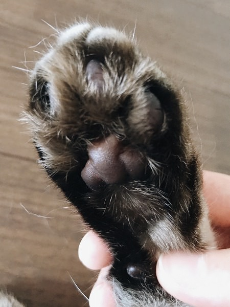 シャムトラ猫の肉球