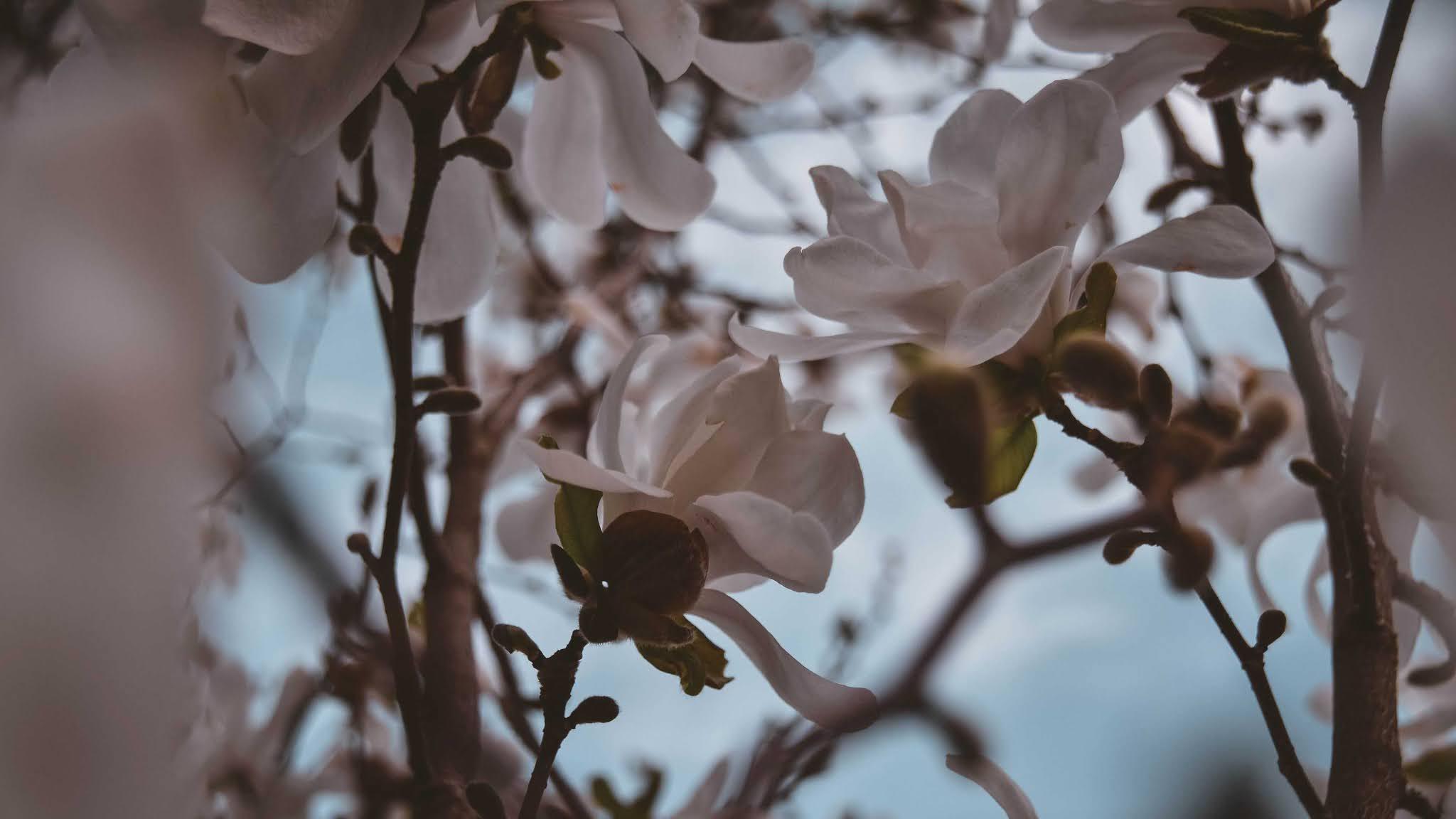 magnolia wallpaper