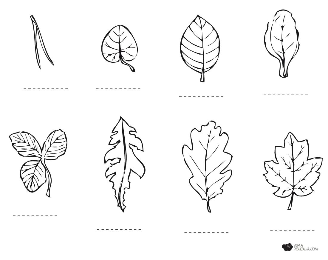 Tipos de hojas de arbol para colorear - Imagui