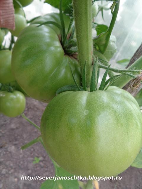 Малиновый гигант - крупные и вкусные помидоры