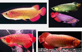 Ikan Hias Air Tawar Yang Bisa Dicampur dalam Satu Akuarium