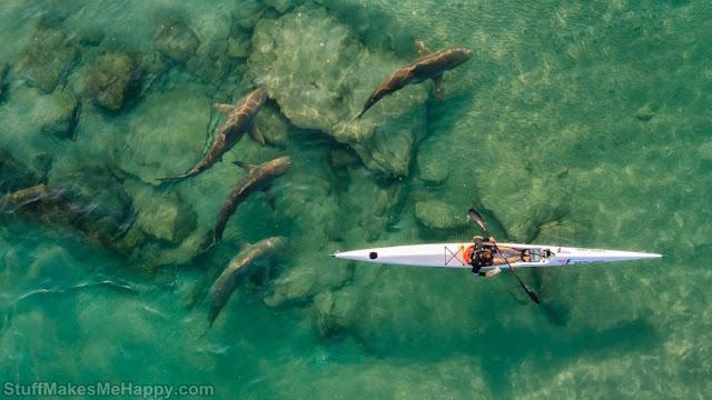 7. Companion shark. (Photo by Ido Meirovich