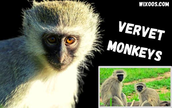 Origin of vervet monkeys living Dania Beach for decades