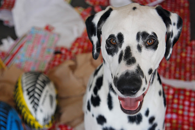 Smiling dalmatian dog in a pile of opened presents and ripped wrapping paper