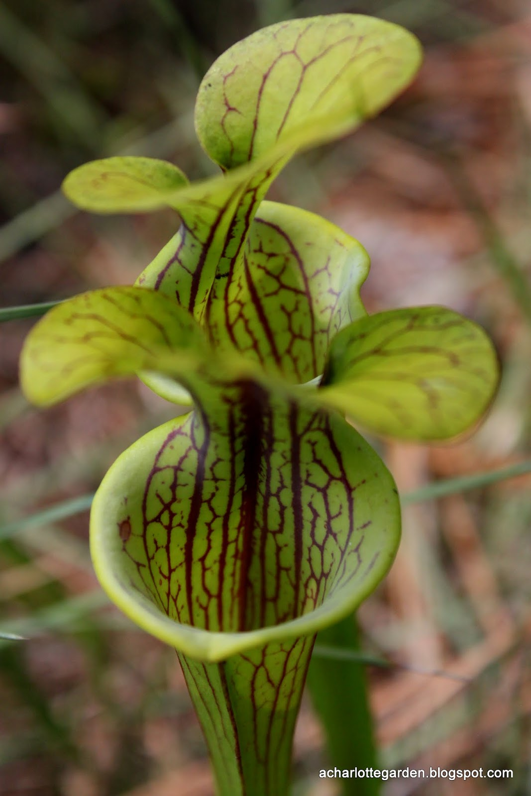 Garden Bush: A Charlotte Garden: Pitcher Plant, Au Naturel