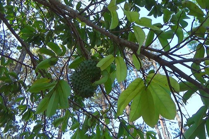 Dlium Soursop (Annona muricata)