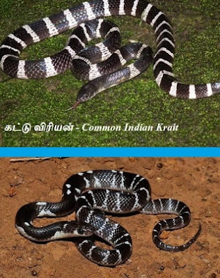 Common Indian Krait
