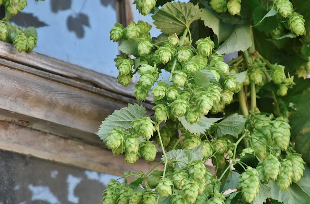 How To Grow Hops On Decorative Garden Trellis Or Arbor