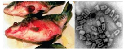 Penyakit Virus Pada Ikan : Spring Viremia of Carp Virus (SVCV)