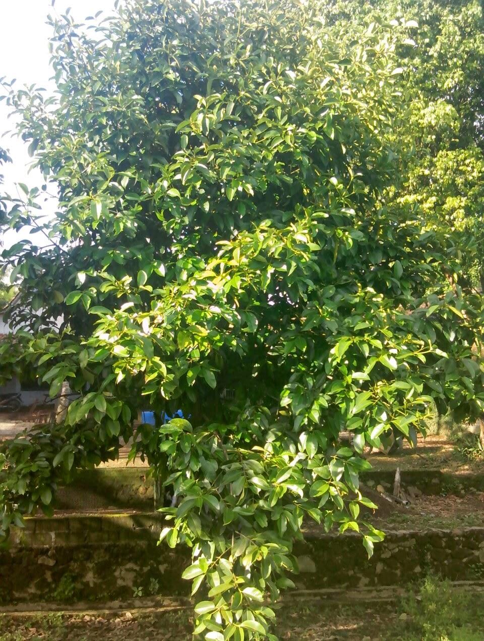 pohon manggis