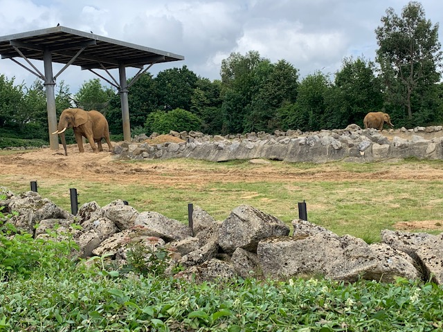 Elephants in grassland, at Colchester Zoo