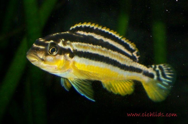 Gambar Niasa Jenis Ikan Hias Air Tawar Warna Belang Kuning Hitam