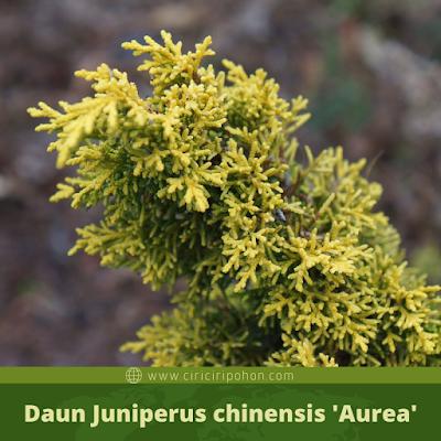 Juniperus chinensis 'Aurea'