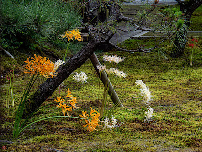 Higan-bana (Lycoris radiata) flower: Chojyu-ji