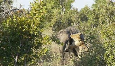 pertarungan anak gajah dengan singa betina dewasa