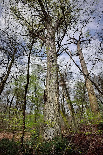 Arbre remarquable, Gros Fouteau, Forêt de Fontainebleau.