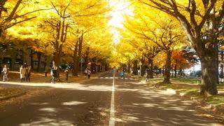 北海道大学イチョウ並木