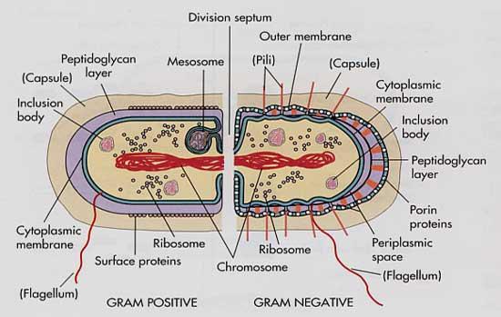 Bacteria Ribosomes Diagramribosomes Wire Diagrams