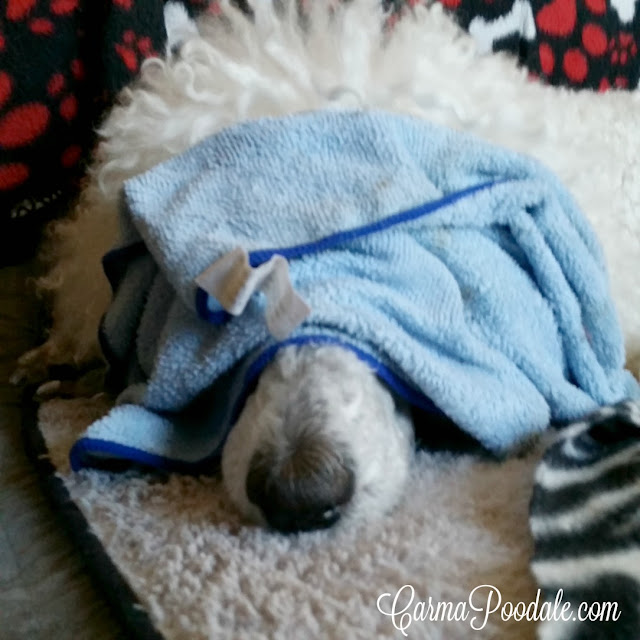 Carma Poodale, poodle, covered face with a warm rag