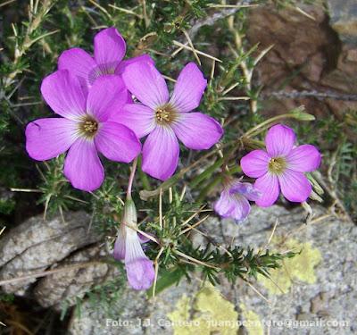 flor de Oxalis argentina