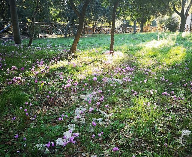 Ciclamini nel bosco delle Pianelle