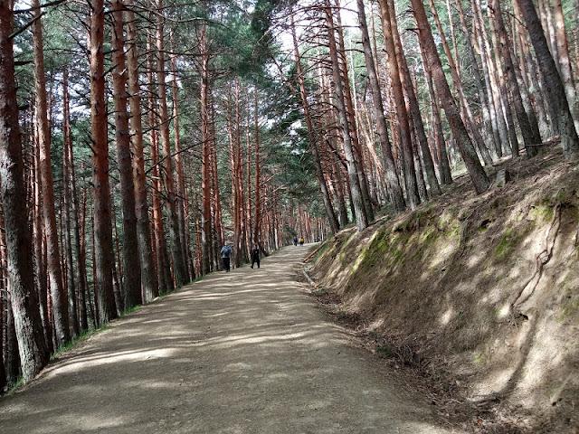 Bosque de Pinos en la Senda a la Chorrera de San Mamés